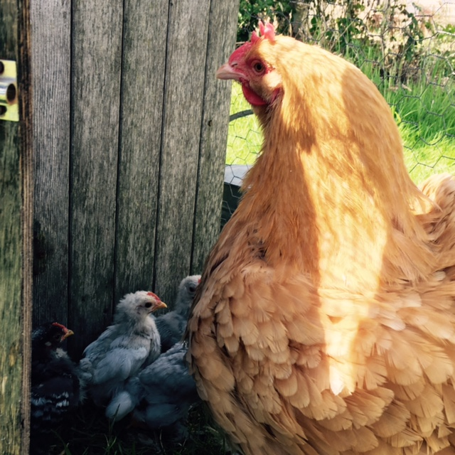A hen and her chicks